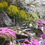 日本一人口が少ない村が大胆不敵に大桜まつり!レペゼン高知が分かりやすく解説「大川村さくら祭」