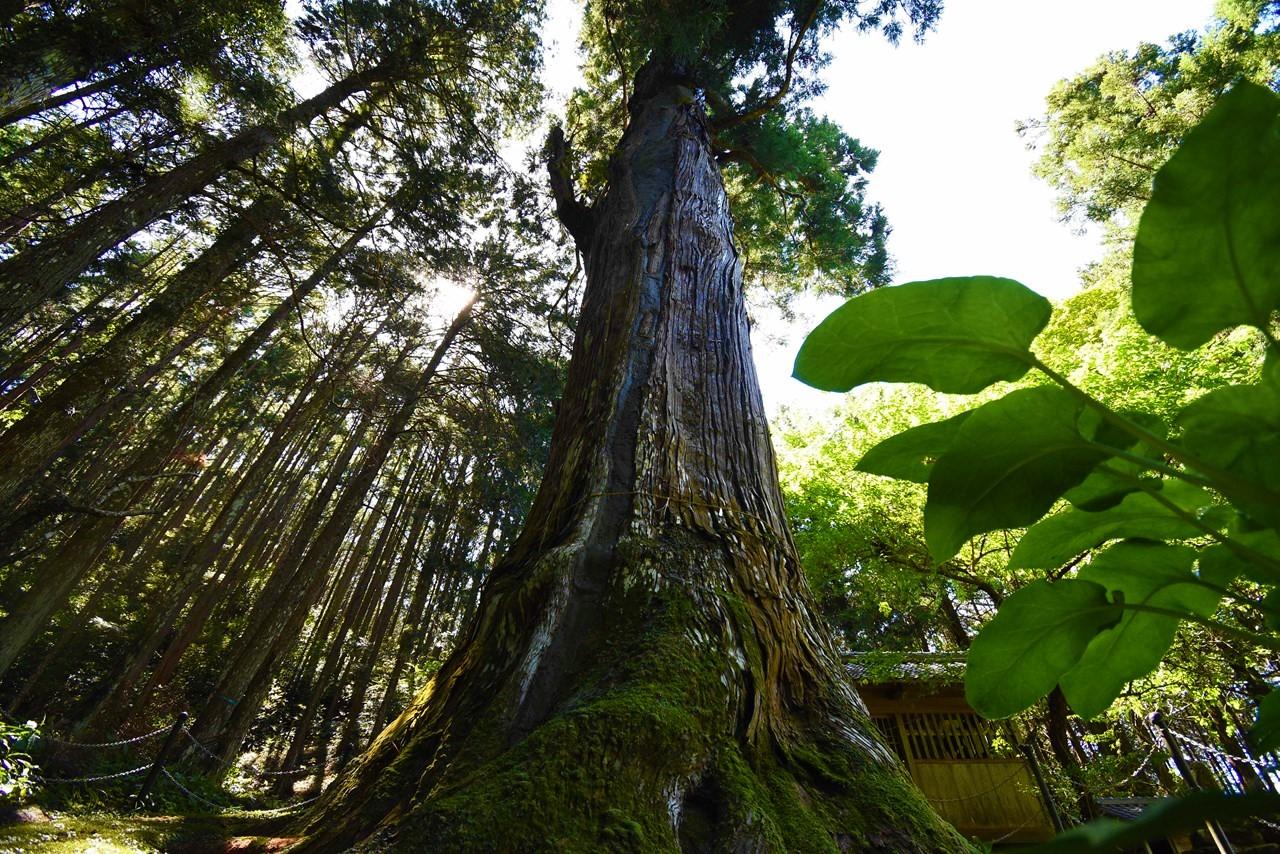 【天神の大杉】天まで届け樹齢800年の神木