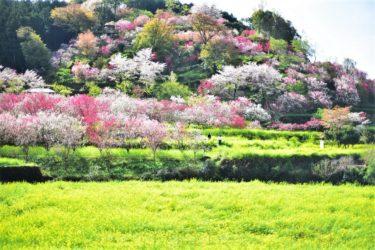 【西川花祭り】一面桃源郷。桜と菜の花の夢世界。