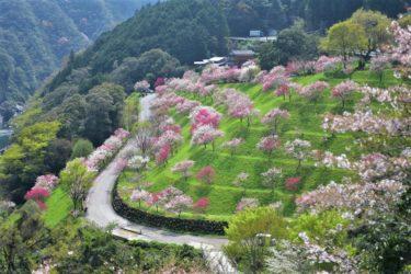【引地橋の花桃】土佐の桃源郷といえばここ!仁淀川町の春にしか見れない絶景。