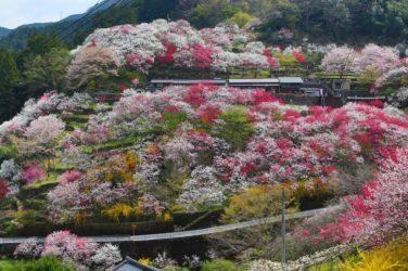 【上久喜の花桃】絶景!日本で最も美しい村。仁淀の咲き誇る桃。